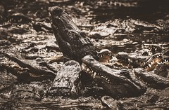 Infernal pit (Tracey Rennie) Tags: staugustinealligatorfarm 52weekchallenge alligators florida teeth sharp animal thrashing hss