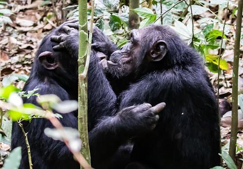 8-chimpanzee-1099