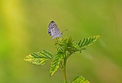 Cassius Blue (Leptotes cassius) - Holguín Province, Cuba - Feb 2019 (Dis da fi we) Tags: cassius blue leptotes holguín province cuba butterfly wings plant green