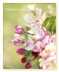 Pequeños milagros❤ (c.ferrol) Tags: manzanas appel blossom flores manzano pastel suave soft primavera floración milagros