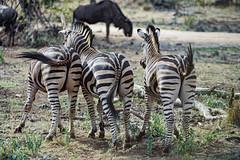 Three zebras from behind (Tambako the Jaguar) Tags: zebra three together equine stripes vegetation action safari lionsafaripark johannesburg southafrica nikon d5