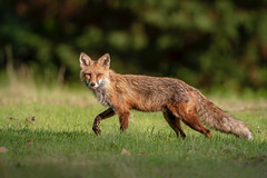 Fox Patrol... (DTT67) Tags: redfox fox 1dxmkii 500mm 14xtciii canon1dxmkii canon canid animal mammal maryland wildlife nature