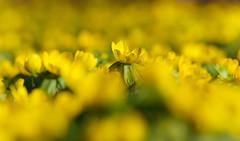 Der Winterling (KaAuenwasser) Tags: winterling eranthishyemalis blume zierblume blüte blüten gelb wiese blütenmeer makro hahnenfusgewächse park anlage licht sonne sony ilce7rm3