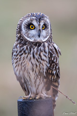 Short Eared Owl (Simon Stobart - Back For Now) Tags: short eared owl asio flammeus north east england uk