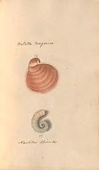 n72_w1150 (BioDivLibrary) Tags: greatbritain mollusks museumsvictoria bhl:page=57640281 dc:identifier=httpsbiodiversitylibraryorgpage57640281 conchologicaldictionary conchology shells britishisles britishislands williamturton british