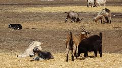 0428 Ziegen bei - goats near; Mallala (roving_spirits) Tags: australia australien australie southaustralia