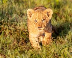 Lion cub (Photobirder) Tags: lioncub eastafrica masaimara kenya