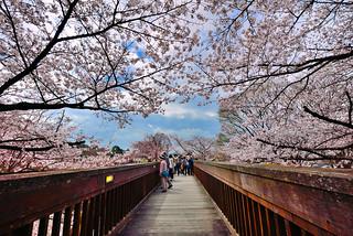 Sakura , 京都