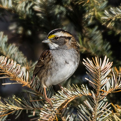 Looking coy (Fred Roe) Tags: nikond7100 nikonafsnikkor200500mm156eed nature naturephotography national birds birding birdwatching birdwatcher sparrow whitethroatedsparrow zonotrichiaalbicollis colors flickr outside animals peacevalleypark