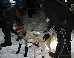 _ROS3457-Edit.jpg (Roshine Photography) Tags: dogs yukonquest dawson winter dogyard 36hourrestart huskies environmental yukonterritory snow dawsoncity yukon canada ca