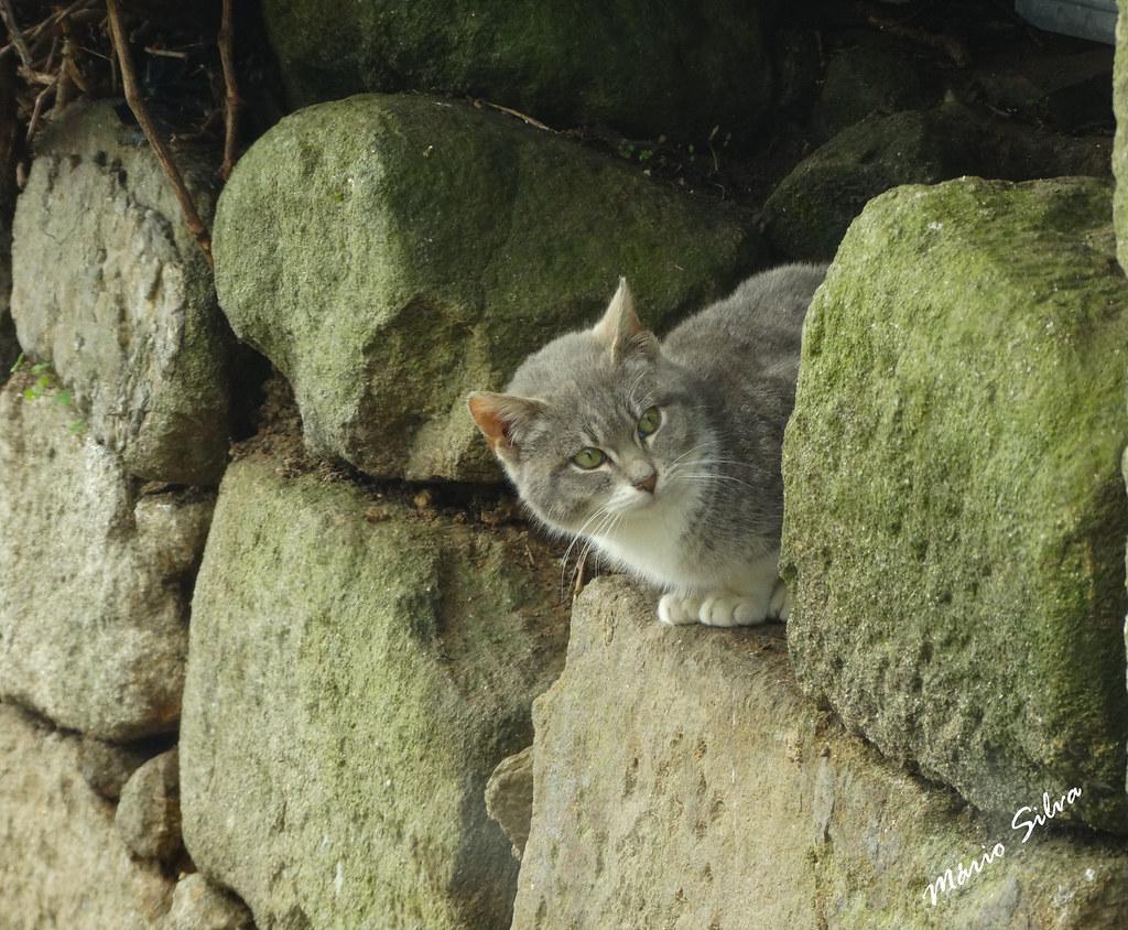 Águas Frias (Chaves) - ... gatito espreitando por entre as pedras esverdeadas ...