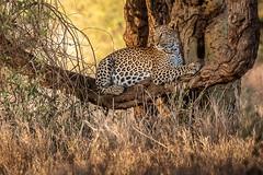 Watchful Leopard (helenehoffman) Tags: africa conservationstatusvulnerable kenya leopard pantheraparduspardus africanleopard lewawildlifeconservancy animal cat bigcat felidae pantera feline alittlebeauty coth specanimal coth5