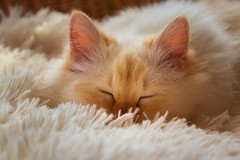 Back home (FocusPocus Photography) Tags: tofu dragon katze cat chat gato tier animal haustier pet müde sleepy tired decke blanket weich soft