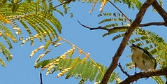 Blue-headed Vireo, Vireo solitarius (asterisktom) Tags: blueheadedvireo vireosolitarius vireo chiapas 2019 march tuxtlagutierrez sumidero bird vogel ave 鸟 птица 鳥 pajaro mexico2019janmarch