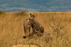 Brothers (Jill Clardy) Tags: 201902249l8a0963 brothers cheetah cat wild serengeti national park tanzania africa game drive vantage travel