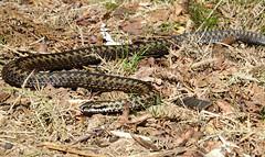 Adder (hedgehoggarden1) Tags: adder snake nature wildlife sonycybershot norfolk eastanglia uk sony animal creature reptile