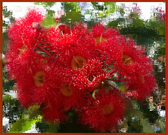 Attitude (boeckli) Tags: rx100m6 011019 rahmen frame photoborder outdoor floweringgum tree baum bäume trees red rot flowers flower flora fleur textures texturen texture textur topaz filterforge garden garten sydney newsouthwales australia gumtree eucalypt