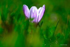 Crocus (jpto_55) Tags: kiron105mmf28macro fleur crocus proxi bokeh xt20 fuji fujiflim hautegaronne france