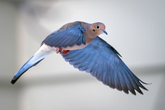 MorningGlory (jmishefske) Tags: wehr d850 nikon nature center mourning milwaukee franklin march bird wisconsin flight park whitnall dove bif 2019