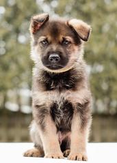 2019-03-02, Mel x Dezi Yellow Male-3 (Falon167) Tags: gsd germanshepherddog german shepherd dog puppy mel dezi melxdezi litter bessie puppies