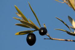 The olives (RubénRamosBlanco) Tags: naturaleza nature plantas plants olivas olives olivetree olivos aceitunas negras black hojas leaves invierno winter madrid españa spain oleaeuropaea