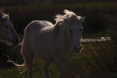 Camargue horse (JLM62380) Tags: cheval light white blanc camargue france nature chevaux horse saintesmariesdelamer