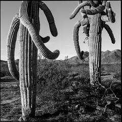 Saguaros (greenschist) Tags: carnegieagigantea blackwhite usa arizona saguaro pinalcounty sonorandesert santanmountainregionalpark
