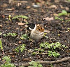 Reed Bunting ♂ (Huddsbirder) Tags: huddsbirder rspb oldmoor fe70300mm sony a6500 reedbunting