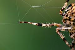 Deadly Vibes (jonasdm) Tags: cross spider crossspider animal araña spinne edderkop araneus animals