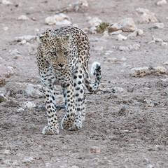 Kgalagadi Queen (2). (Jambo53 ()) Tags: crobertkok iso1600 500mm 1125 f8 kgalagaditransfrontierpark southafrica nature wildlife leopard luipaard predator roofdier elusive auchterloniefemale female tweerivieren