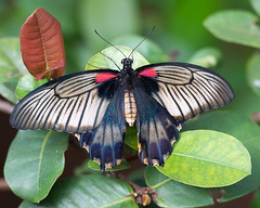 PapilioMemnonAgenor1 (Borreltje.com) Tags: kleincostarica costarica tropical tropics someren nature wildlife nikon animalphotography