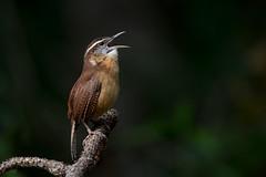 Carolina Wren (Melissa James Photography) Tags: thryothorusludovicianus carolinawren nikond500 nikon500f56prime johnchesnutpark florida bird birdsinging