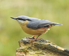 Nuthatch on Wooden Perch (Gilli8888) Tags: nikon p900 coolpix thornleywood thornleyhide tyneandwear nature birds nuthatch wood log
