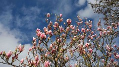 Magnificent Magnolias (Its spring !) (Barry Potter (EdenMedia)) Tags: barrypotter edenmedia nikon d7200 magnolia