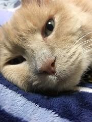 Norio Keeping Bonkers Company (sjrankin) Tags: 21march2019 edited animal cat norio closeup bed bedroom tunic kitahiroshima hokkaido japan