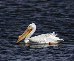 American White Pelican (Pelecanus erythrorhynchos) (mesquakie8) Tags: bird pelican swimmingandresting adults americanwhitepelican pelecanuserythrorhynchos awpe rockcutstatepark winnebagocounty illinois 3653