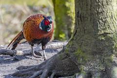 Pheasant (pollylew) Tags: pheasant ringneckedpheasant