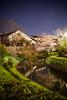 月桂冠裏の桜