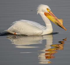 American White Pelican (Pelecanus erythrorhynchos) (mesquakie8) Tags: bird pelican swimmingandresting adults americanwhitepelican pelecanuserythrorhynchos awpe rockcutstatepark winnebagocounty illinois 3717