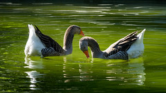 'Preliminaries' (Canadapt) Tags: geese pond foreplay dance lisbon portugal canadapt