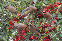 Cedar Waxwings (noneinc) Tags: feeding birds waxwings tree behavior