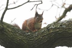 Red Squirrel (roger_forster) Tags: redsquirrel sciurusvulgaris isleofwight borthwood wild animal rodent arboreal hiwwt