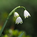 Snowdrops (Galanthus nivalis, スノードロップ)
