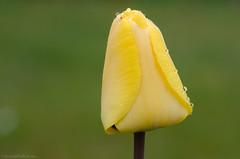 waiting for the sun 22/100x 2019 (sure2talk) Tags: waitingforthesun tulip yellow nikond7000 nikkor85mmf35gafsedvrmicro 100xthe2019edition 100x2019 image22100 22100x2019