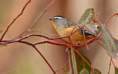 Spotted Pardalote (M) (Rodger1943) Tags: pardalotes spottedpardalote australianbirds sonyrx10m4