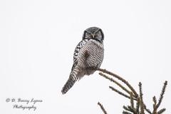 IMG_4269 (D Barry Lyons) Tags: owl bird birding michigan wildlife northernhawkowl