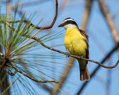 IMG_8655 Great Kiskadee, in Panama (ashahmtl) Tags: greatkiskadee bird kiskadee flycatcher songbird pitangussulphuratus elvalledeanton cocleprovince panama