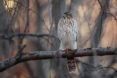Cooper's Hawk (wn_j) Tags: birds birding birdsofprey nature naturephotography wildlife wildanimals wildlifephotography canon canon500mm canon1dxii coopershawk hawk birdsinflight urbanwildlife urbanhawks