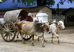 Man Driving Bullock Cart In Mandalay, Myanmar (Eric Lafforgue) Tags: asia myanmar burma tourism adultsonly domesticcattle realpeople oxcart candid workinganimals photography onematuremanonly twoanimals animaldrawn mandalay day traditionalculture wood bull smiling pulling outdoors horizontal transportation environment traditionallymyanmarian ruralscene colourpicture publictransport traveldestinations burma7165
