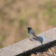 Black Redstart - Shoreham Fort (157) (Malcolm Bull) Tags: 20190120fort0157edited1web include black redstart shoreham fort bird